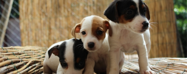 Offers Breeding Dogs Rome