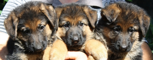German Shepherd Puppies Rome